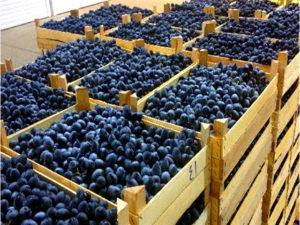 Россельхознадзор обеспокоен поставками винограда в Россию